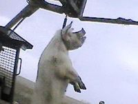 Euthanasia via Hanging from a chain